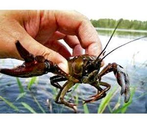 Дунай открыт для ловли раков