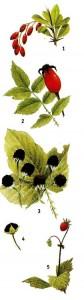 Съедобные плоды растений