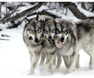 Волк подорожал