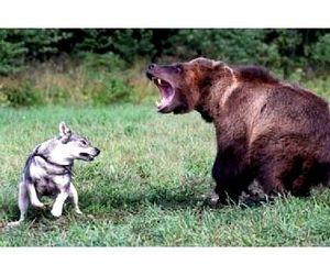 Охота на медведей в Эстонии начинается с 1 августа