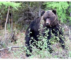 В Швеции ежегодно можно отстреливать 300 медведей