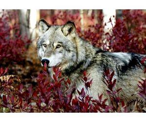 За убийство волка заплатят 1000 долларов