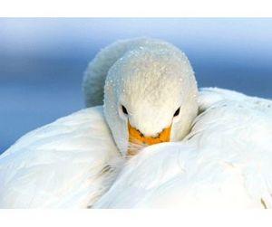 Лебедь - это просто большая красивая утка