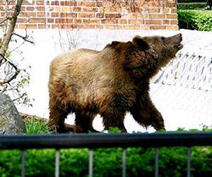 Медведи разгуливают по улицам городов ХМАО (видео)