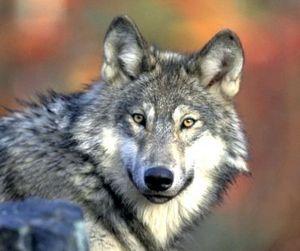 Кировские волки слишком дорого обходятся охотникам