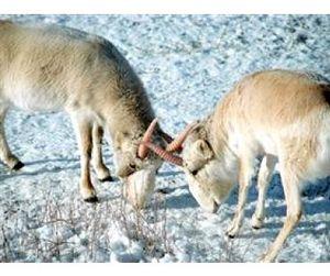 Волгоградские сайгаки мигрируют в Казахстан и не возвращаются