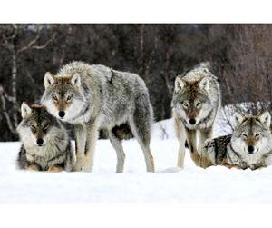 На Алтае открыта волчья охота