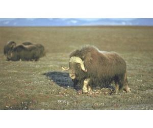 Российская популяция овцебыка  - третья в мире