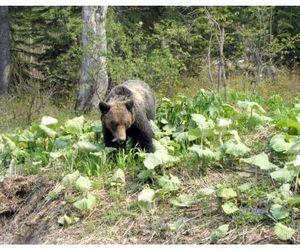 На Сахалине идет охота на медведей