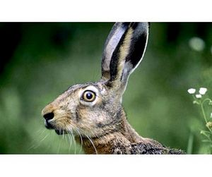 2 ноября открывается сезон охоты на зайца в Брестской области