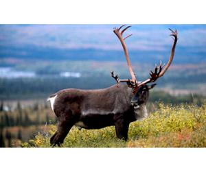 На Ямале сокращен лимит добычи дикого северного оленя
