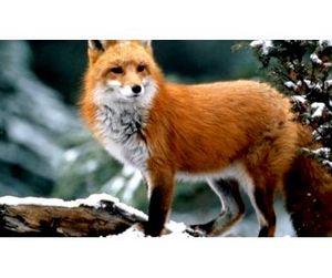 Открыта охота на лисицу и бобра в Пензенской области