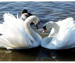 Алтайцы встали на защиту белых лебедей