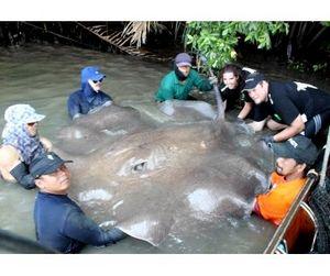 315-килограммовый скат пойман в Таиланде