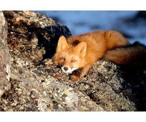 В Томской области открыта охота на зайца, лисицу и волка