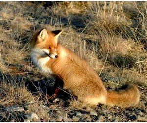 Во Владимирской области разрешено отстреливать лис
