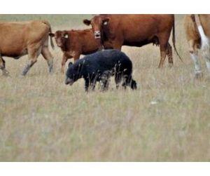 На Колыме медведи нападают на коров