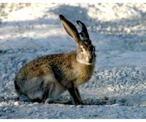 Охота по-одесски: воскресный заяц