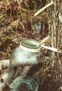 Березовый сок - лучший напиток в весеннем лесу