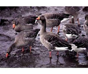 Белоруссия - открыта охота на гусей