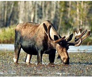 В Саратовской области запрещена охота на лося, оленя и кабана