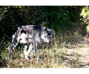 В Бердянском районе Украины волки нападают на домашний скот