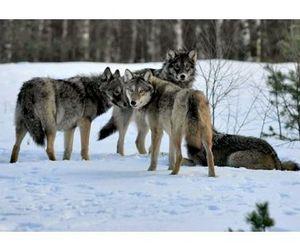 В республике Коми волка приравняли к пушным зверям