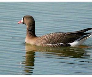 Гусь-пискулька стал птицей года в Казахстане