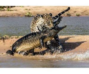 Уникальное видео охоты ягуара на крокодила потрясло интернет