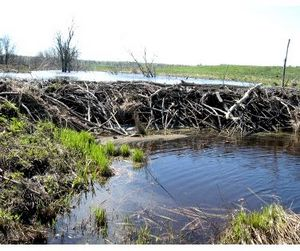 Бобры затопят Томскую область