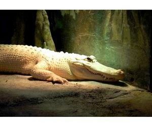 Крокодил-альбинос по кличке Майкл Джексон убил рыбака в Австралии
