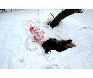 В Свердловской области браконьеры конкурируют с волками