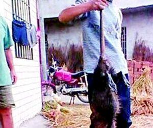 Охота на гигантскую крысу закончилась праздничным ужином