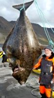 Гигантский палтус пойман в Баренцевом море