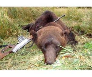 Правительство Югры дало добро для охоты на медведей