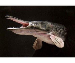 В Австралии крокодил официально признан рыбой