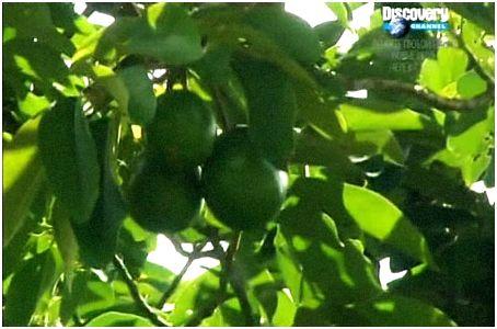 Съедобные плоды джунглей