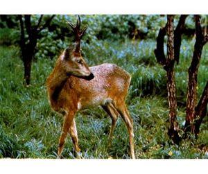 Охота на косуль и кабанов открывается в Липецкой области