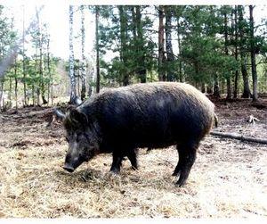 Не все  ярославские охотники смогут поохотиться на кабана