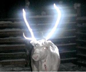Финны дали оленям по рогам. Краской...