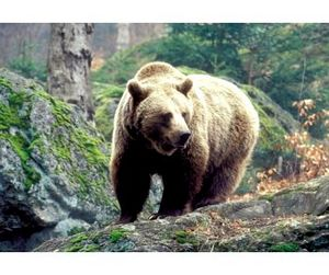 Весенняя охота на медведя в Горном Алтае начнётся 1 апреля