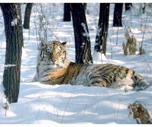Амурские тигры как средство борьбы с волками
