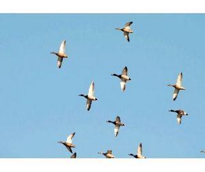 Перелётные птицы облетают Беларусь стороной