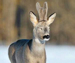 В Курганской области наблюдается необычная миграция сибирских косуль