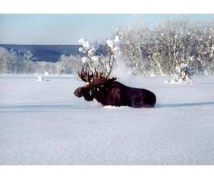 Камчатские лоси смогут зимовать спокойно?
