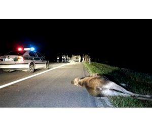 Охотники добыли лося без единого выстрела