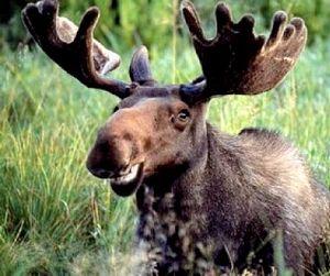 Лосиная охота на реву открыта в Томской области