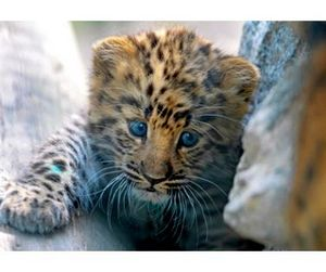 В Приморье впервые осужден продавец шкуры дальневосточного леопарда