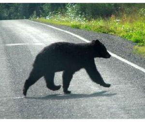 Автомобиль сбил медведя, перебегавшего дорогу  (видео)