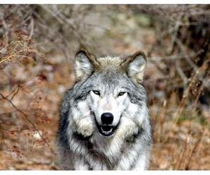Итальянские волки отдают предпочтение свинине